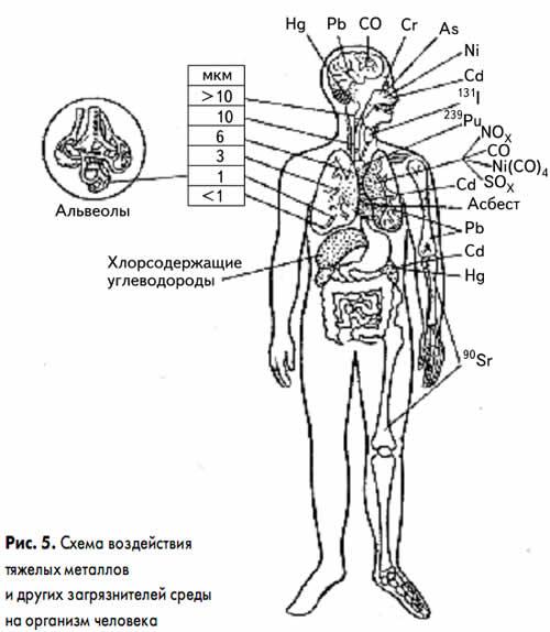 Схема воздействия тяжёлых металлов и других загрязнителей среды на организм человека